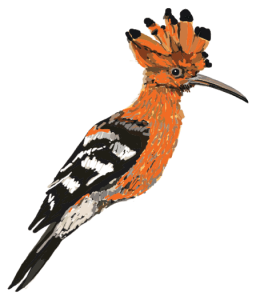 Sarah Pryke Hoopoe Transparent Web-Email
